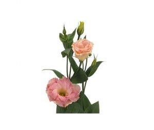 lisianthus-rose-10-tiges