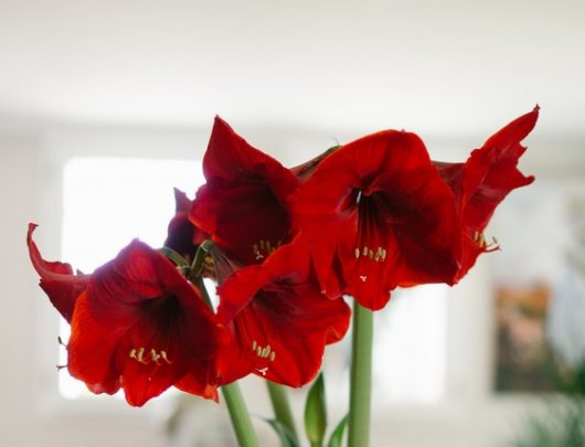 Tuto : Comment conserver mes amaryllis?